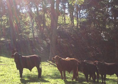 sunflare_cows